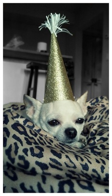 Chihuahua Party Hat...Trained by Insulin